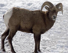 Finally. . we see Bighorn Sheep up close and personal
